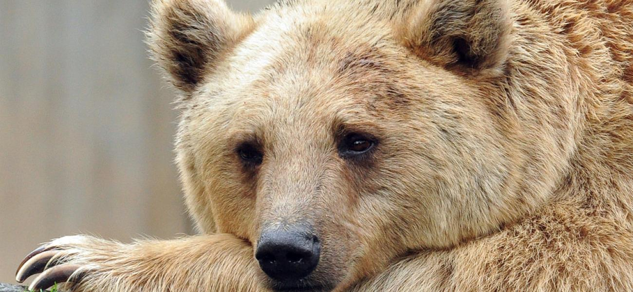 Thoughtful brown bear.